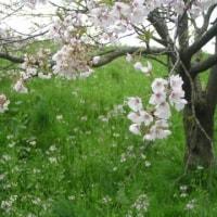 分水の桜はいまこんな 2017おしまい