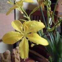 四季の花 8月 ヒオウギ(檜扇)