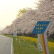 菜の花ロードは桜満開