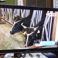 見島発 【TVで見島牛の紹介ニュース観た?】\(*^_^*)/~~~