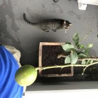 ♪レモンの苗を植えました♪