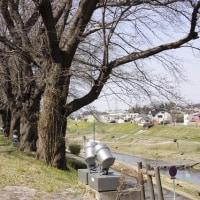 利根運河桜開花情報 2017・03・25