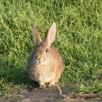 ウサギのメディスン