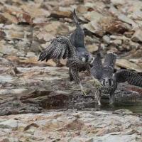 今日の鳥 ハヤブサ 幼鳥  水浴びシ-ン を撮影に行きましたが残念ながら無し。
