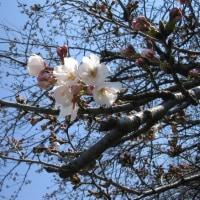 中川河川敷 桜開花