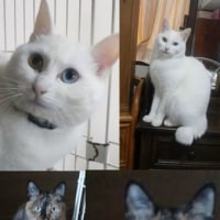 めんまのあまえんぼ。/白猫✕サビ、三毛里親募集中。(小金井市)