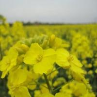 蘇州 陽澄湖 美人腿の菜の花