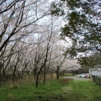 亀山 衛生公苑の桜