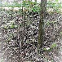 ドウダンツツジを植え込む