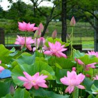 梅雨時に咲く平池公園の大賀ハス 2017.06.26