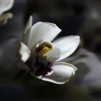 蘭 (花 4253)