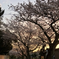 桜満開〜お散歩日和