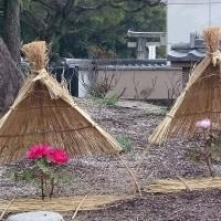 ぼたん ~筥崎宮 神苑花庭園