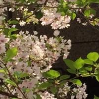 葉桜との共演、、