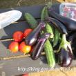 【夏野菜の収穫】