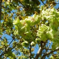 278  緑いろの桜