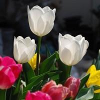 4月20日(木曜日)「チューリップ」(あかねこさん)