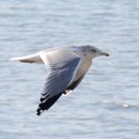 海岸で出会った野鳥たち