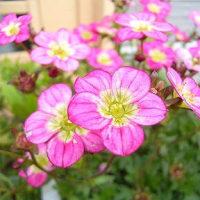 季節の花「雲間草 (くもまぐさ)