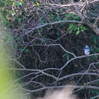 家の前の酒谷川に現われるヤマセミも元気です。 (Photo No.13862)