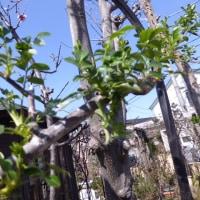 青空に桜開花、南フェンスのツルバラ、うどんこ病予防、
