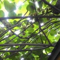 キュウリに葡萄にヤマモモにキウイ・・・・