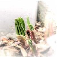 山菜:ギョウジャニンニクに春がきた(*^-^*)