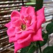 ベランダの草花たち(2017/07)『ミニバラ』が また咲いてくれました♡