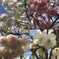 桜 花のまわりみち