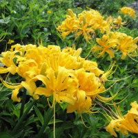 <ショウキズイセン(鍾馗水仙)> ヒガンバナの仲間、鮮やかな黄花