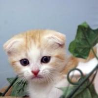 スコティッシュフォールド/子猫ペットショップ/塩釜市/利府町/七ヶ浜町