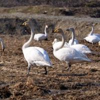 白鳥の数は少ない