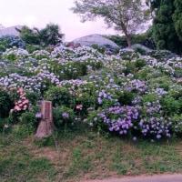アジサイ、紫陽花、あじさい! 流山「紫陽花通り」まで走りました。