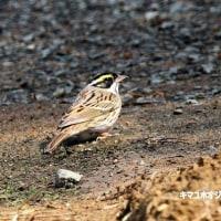 4/27探鳥記録写真(4月中旬に出会った鳥たち)