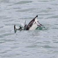 2017 銚子のカモメ・カモ・海鳥観察会記録 ウミスズメの潜水