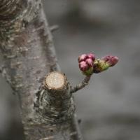 + 花のつぼみの桜色・・・ 膠原病性鳥インフルエンザの猛威  ペストは天の警告である
