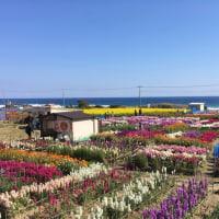 海辺のお花畑(白間津)