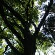 栃木県日光市、生岡神社の杉とエゾエノキです!!