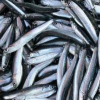 トルコの魚事情w