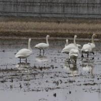 今日の白鳥たち
