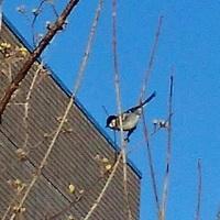 白黒の鳥はシジュウカラ