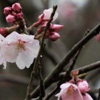 高遠小彼岸桜拡大写真