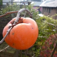 柿「花御所」の収穫(最終)