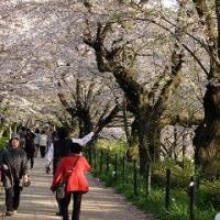 幸手の桜 散り始めです