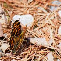 近所の蝶と野鳥 5月23日