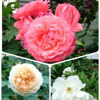 色とりどりの薔薇