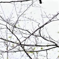 今日の野鳥    戸隠撮影旅行No4   オオアカゲラ・クロツグミ