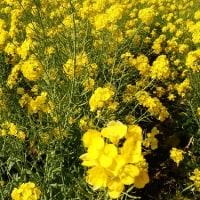 こちらは早い春の・・・菜の花満開