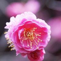 21日の散歩 ( 上御霊から妙顕寺、妙蓮寺への散歩で早春探訪? )