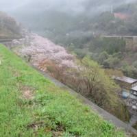 雨の花見もおつなもの ・・・・ 市房ダムのさくら
